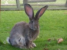 Самые большие в мире кролики: информация о них + фото