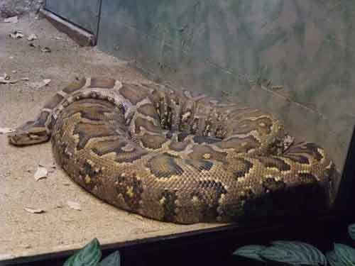 Какая самая длинная змея (в том числе среди ядовитых)