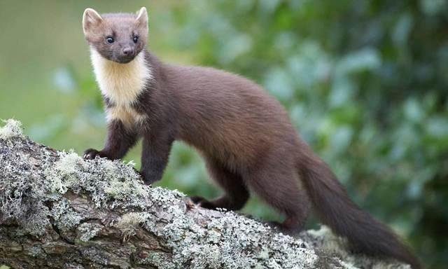 Самый маленький хищник в мире: мелкие хищные животные