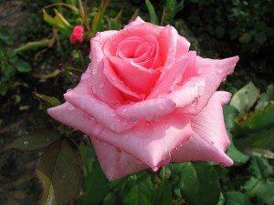 Самая красивая роза в мире, описание сортов цветка