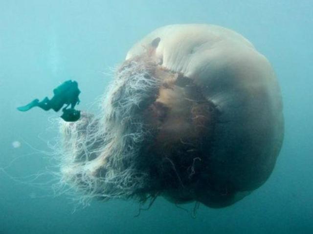 Самая большая медуза в мире: топ крупных медуз мирового океана