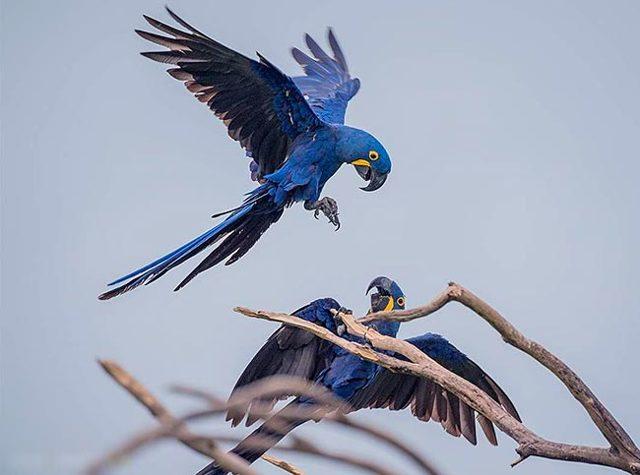 Какой самый большой попугай в мире, где живет и какого он размера