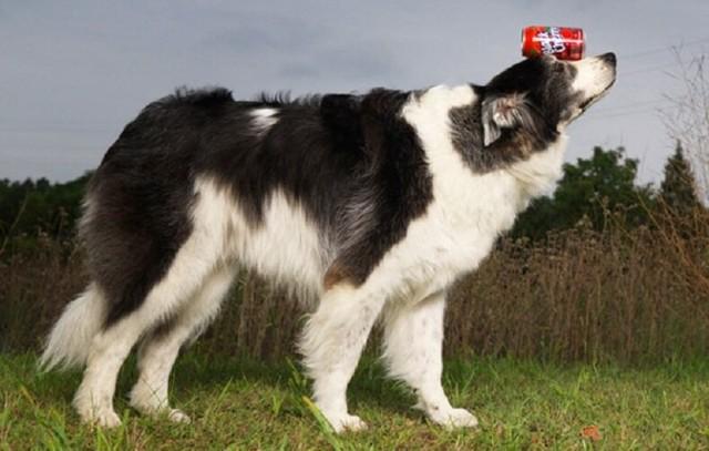 Самая толстая собака в мире, рекордсмены по весу на сегодняшний день