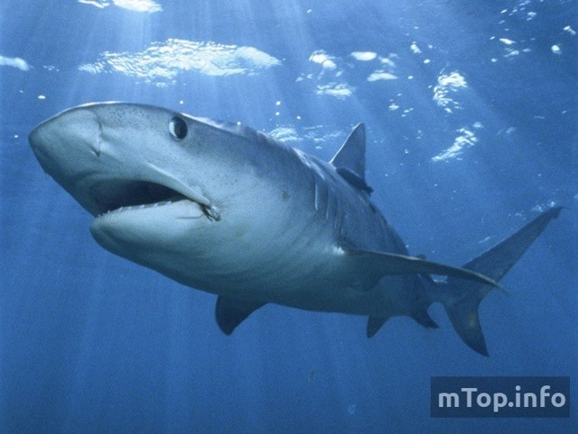 Какая самая большая акула в мире + фото
