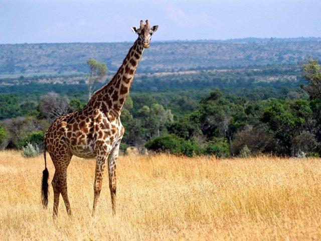 Какое самое высокое животное на земле и в мире