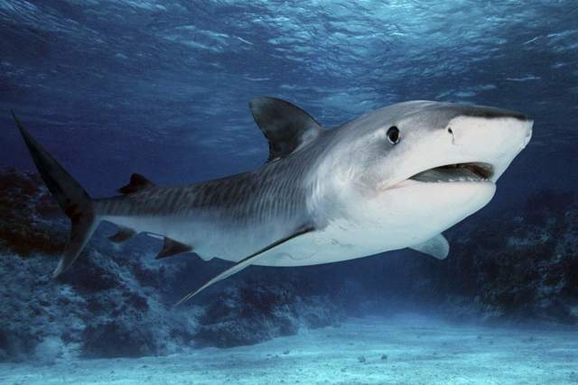 Самая опасная и агрессивная акула в мире, страшная для человека