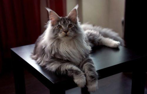 Какая самая крупная порода домашних кошек + фото