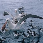 Самая большая птица в мире (летающая и бегающая)
