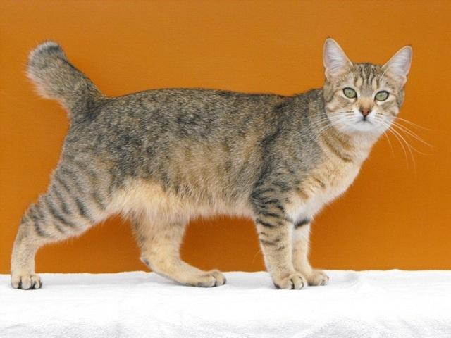 Какая самая большая домашняя кошка: список крупных пород + фото