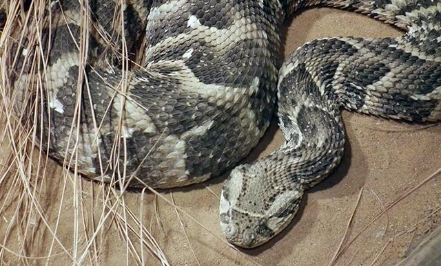 Какая самая большая змея в мире: список крупных и ядовитых рептилий