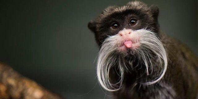 У кого самые длинные усы мире (среди людей и животных)