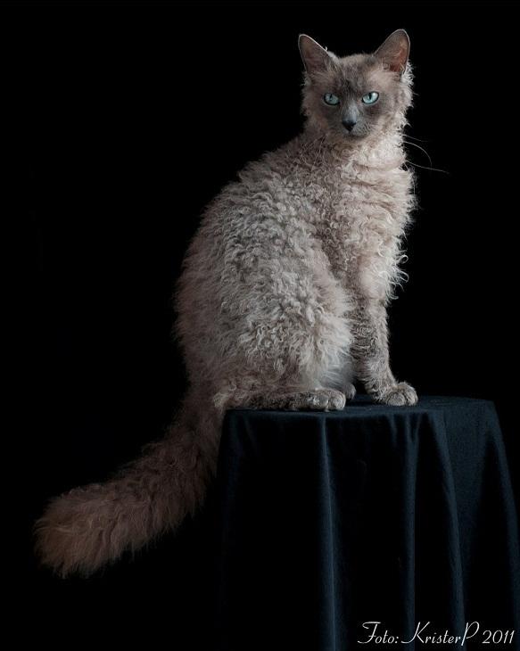Самые дорогие коты в мире: их породы и цены