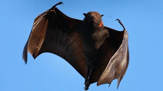 Какая самая большая летучая мышь и какого она размера?