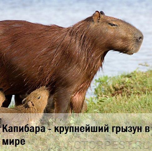Какой самый крупный в мире грызун: список больших животных