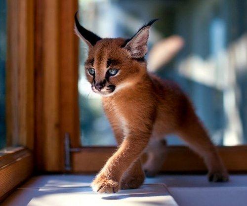 Какая самая красивая кошка в мире + фото