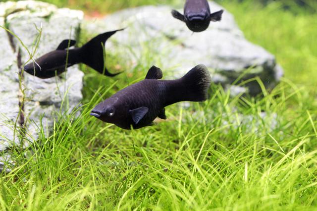 Какие самые неприхотливые аквариумные рыбки
