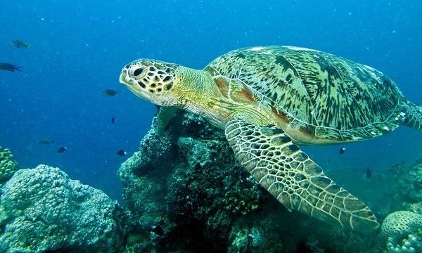 Самая большая в мире черепаха: она сухопутная или морская?
