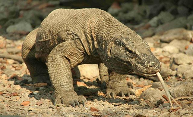 Какая самая большая в мире ящерица (крупные и длинные особи)