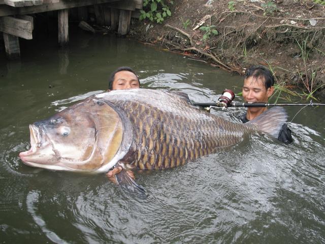 Какой самый большой карп в мире: крупные рыбы