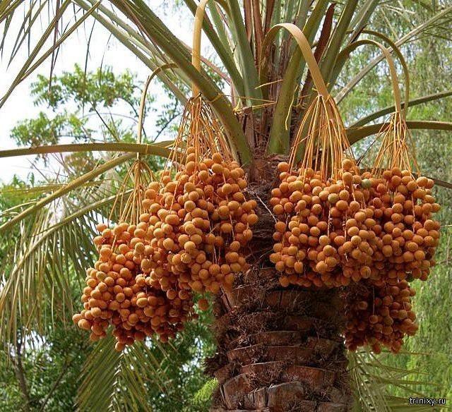 Какой фрукт самый сладкий в мире