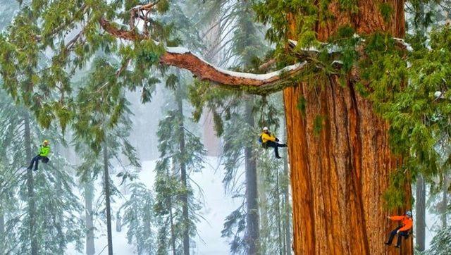 Какое самое большое растение в мире и наиболее высокое дерево