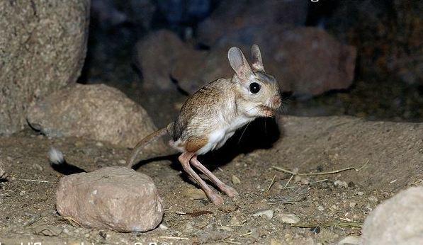 Какое самое маленькое млекопитающее на земле?