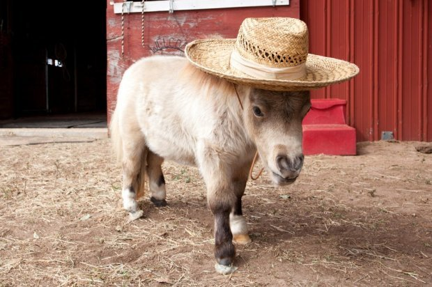 Самые маленькие лошади в мире: список миниатюрных пород лошадок