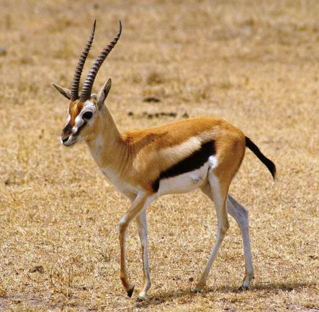 Какое самое быстрое животное в мире